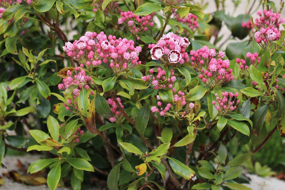 Kalmia latifolia blüht von April bis Juni