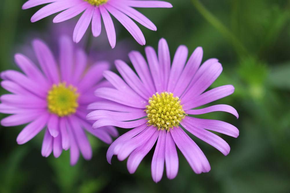 Blaues Gänseblümchen mit seinen zarten lila Blüten