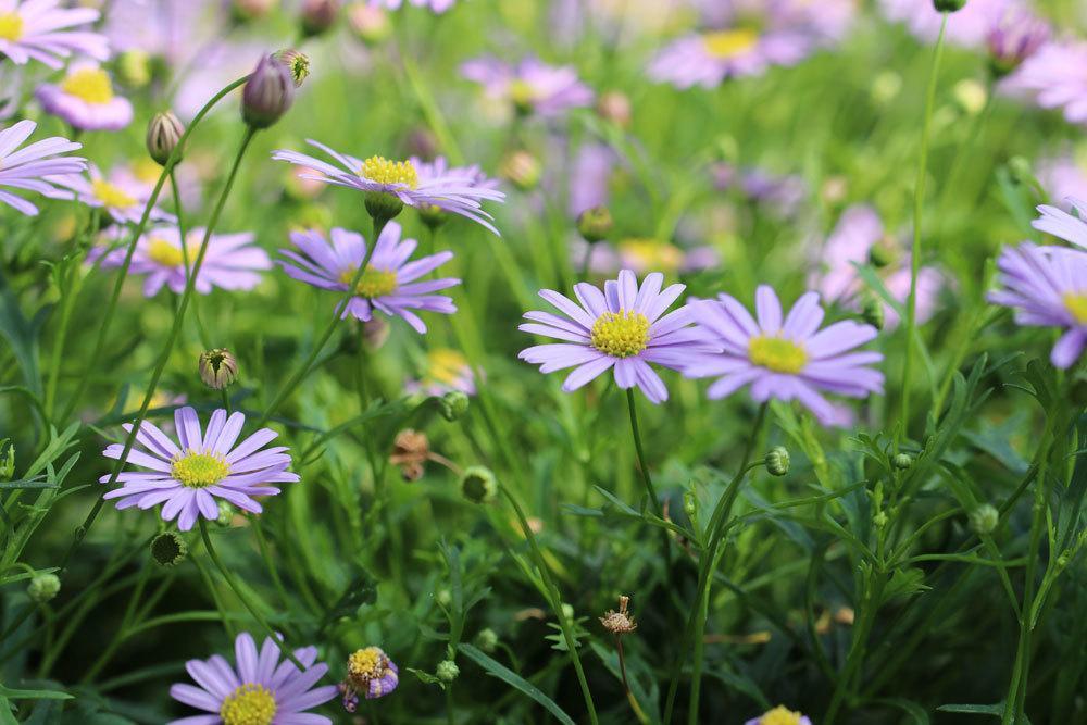 Blaues Gänseblümchen blüht von Mai bis Oktober