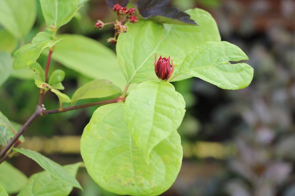 Calycanthus floridus ist eine dekorative Pflanze
