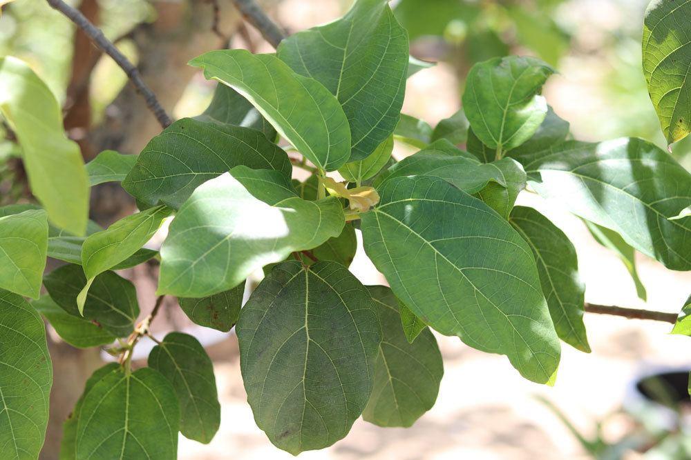 Feigenbaum, Ficus carica besitzt ein exotisches Aussehen