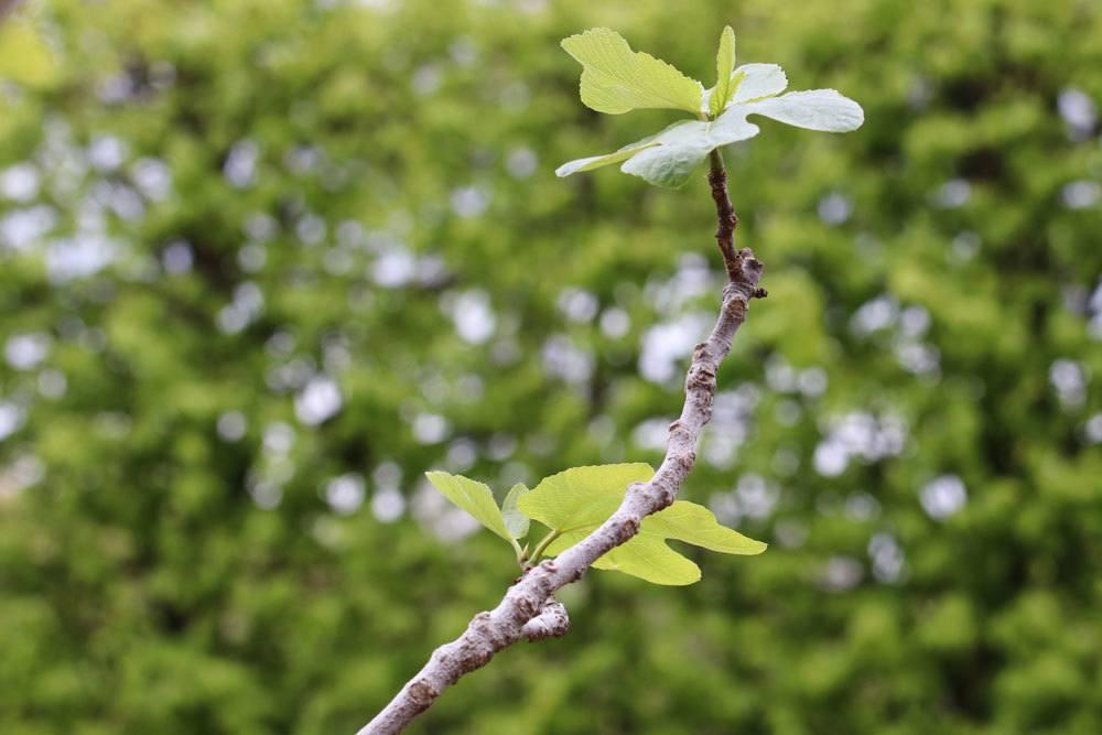 Feigenbaum an verschiedenen Standorten überwintern