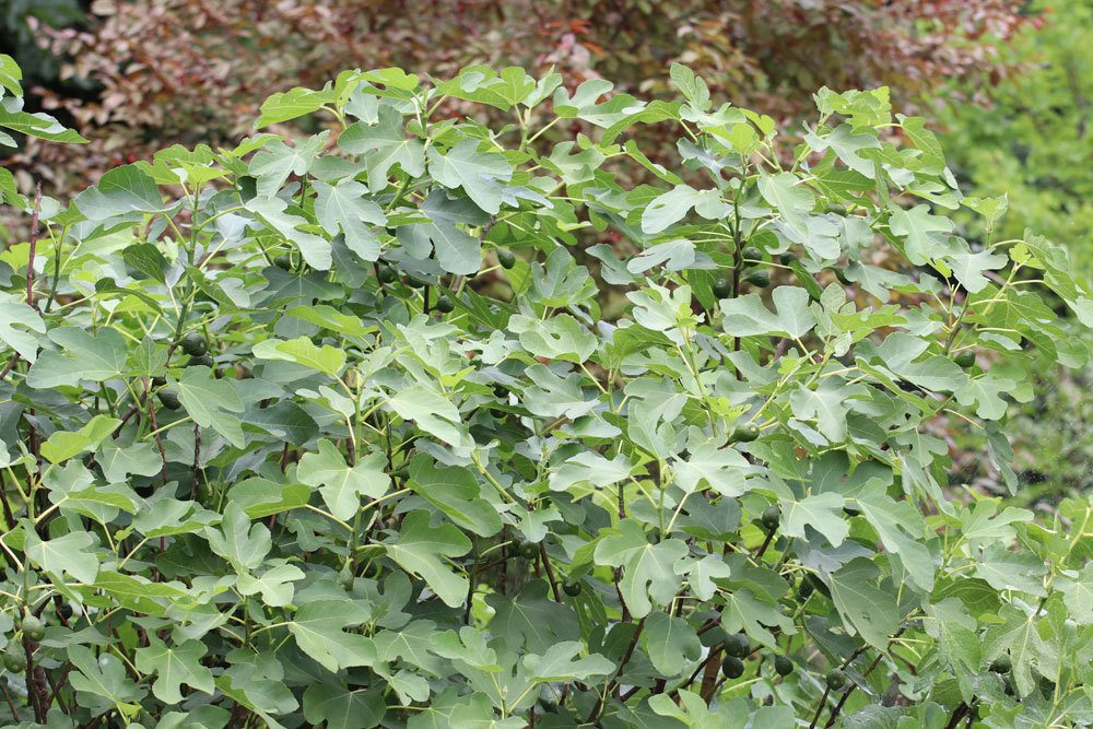 Feigenbaum selbst vermehren