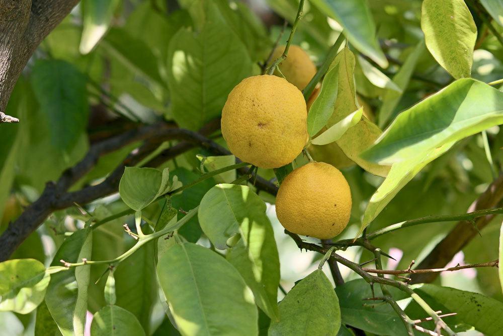 Zitronenbaum mit Frostschäden erkennen