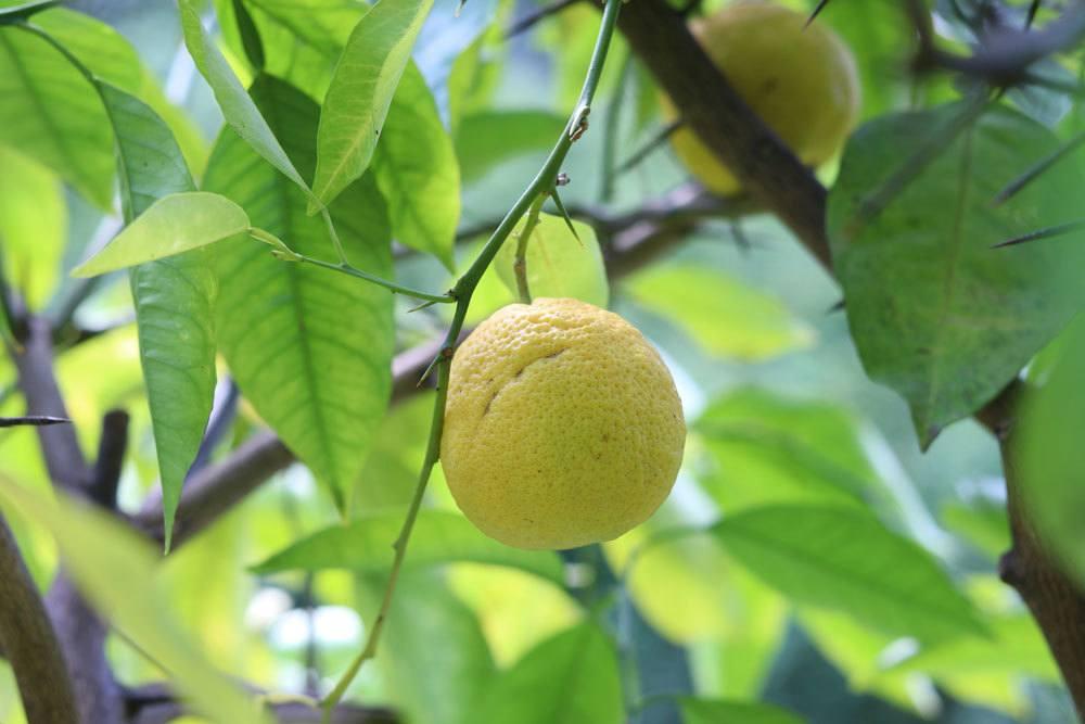 Zitronenbaum sollte die richtige Pflege bekommen