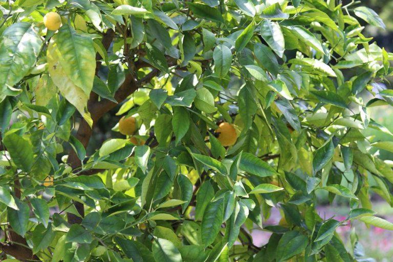 Zitronenbaum ist ein tropisches Gewächs