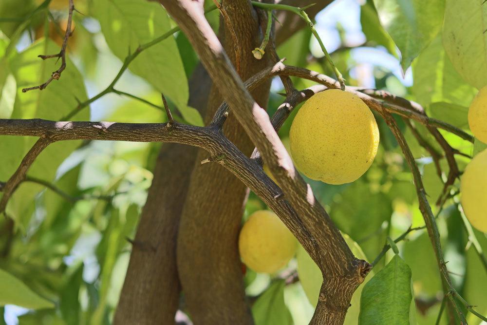 Zitronenbaum mit Zitronenfrüchten