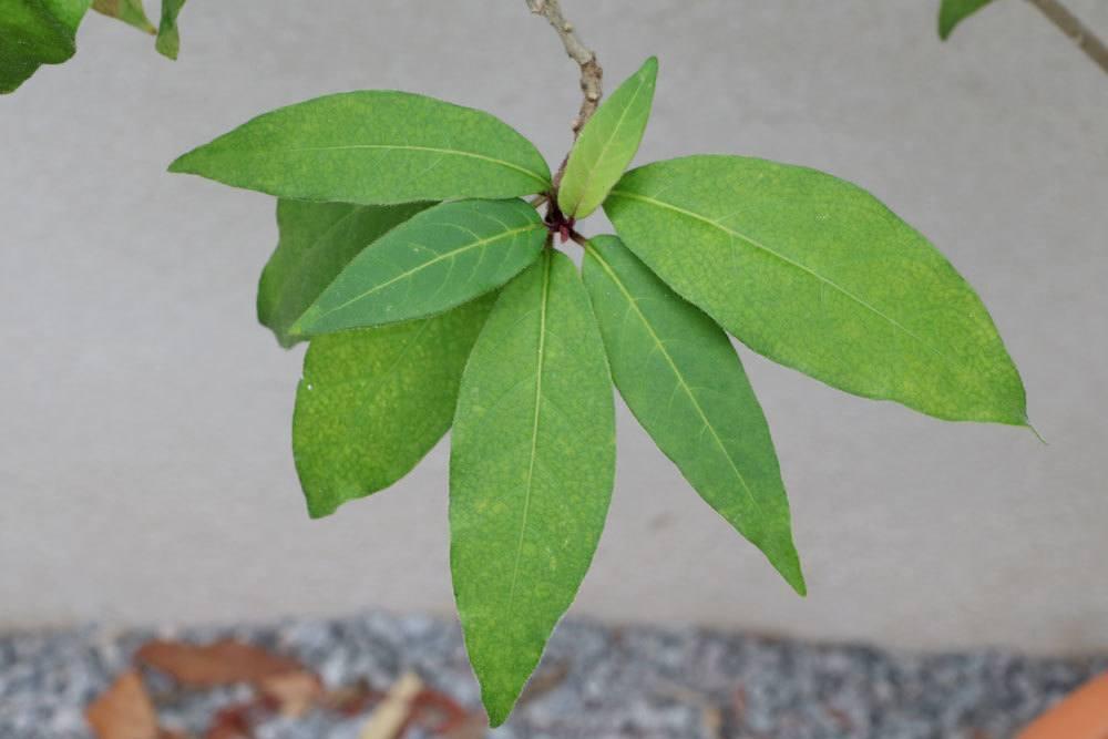 Hammerstrauch, Cestrum mit seinen dunkelgrünen Blättern