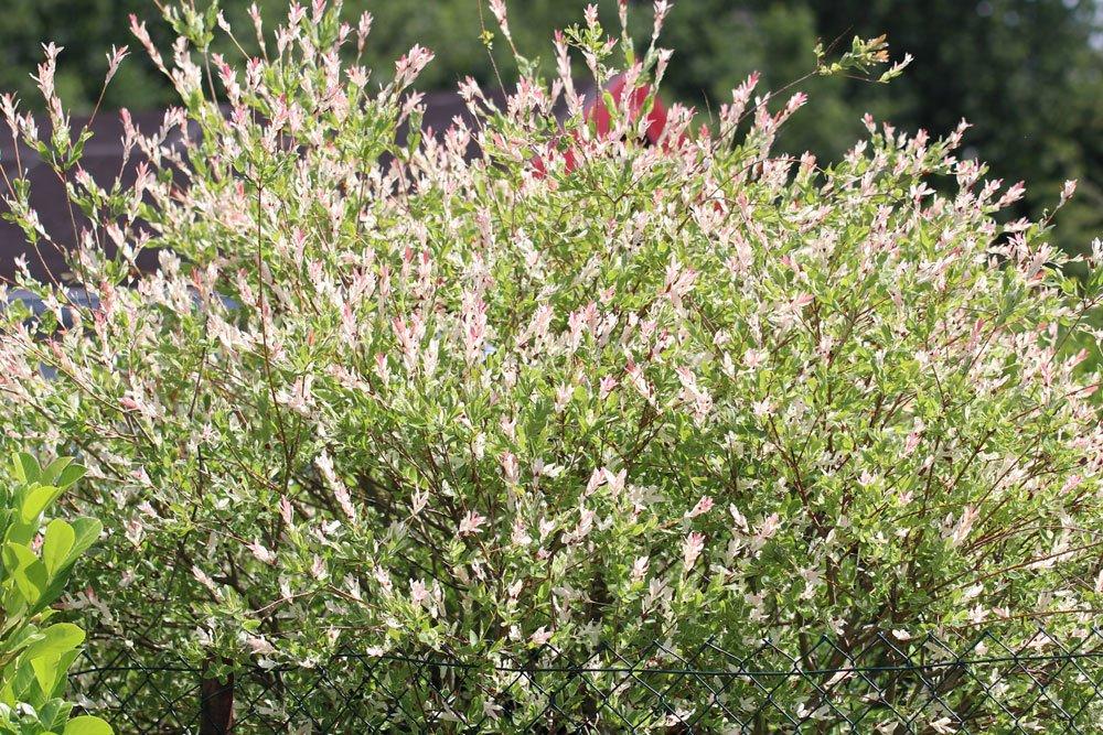 Harlekinweide mit ihren bunten Blättern