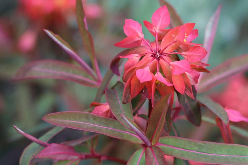 Euphorbia griffithii mit leuchtend roten Blüten