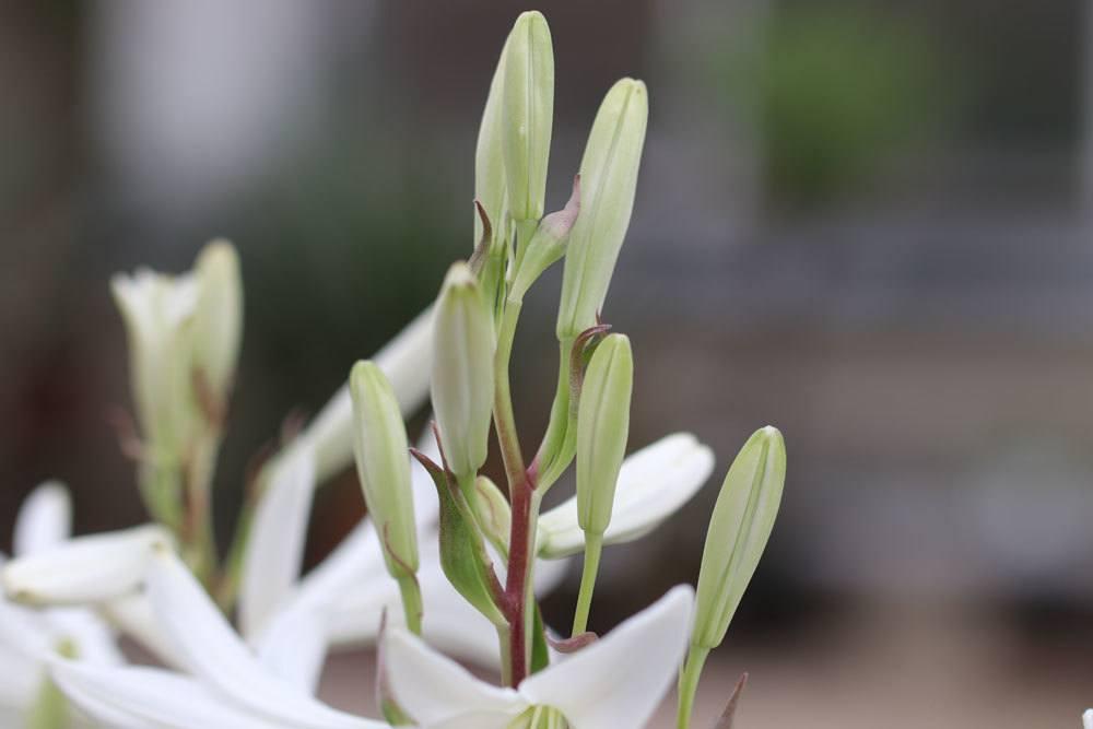 Madonnenlilie, Lilium candidum mit Blütenknospen