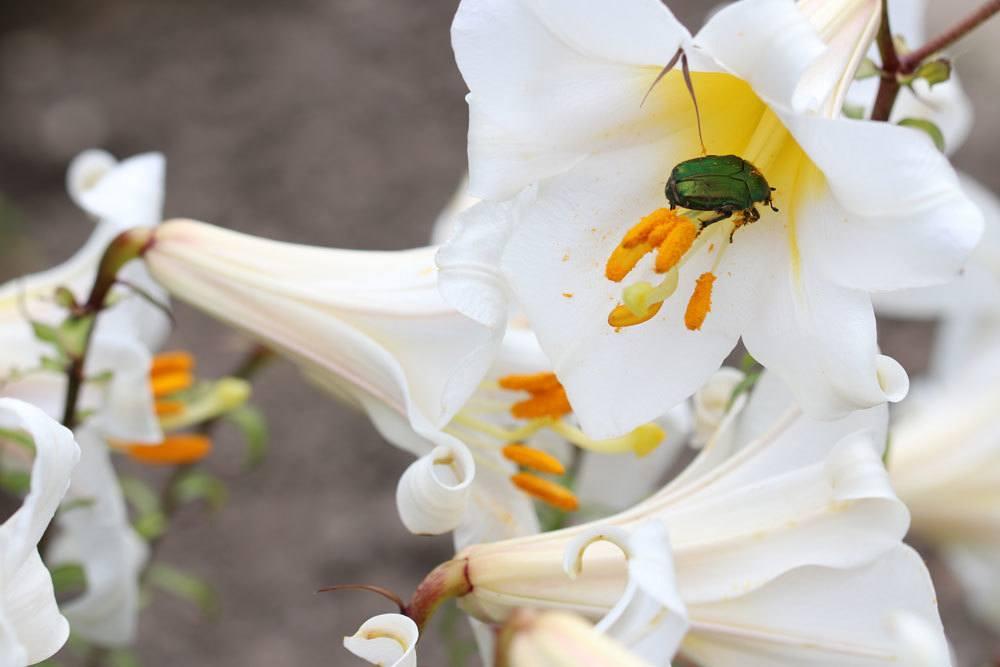 Madonnenlilie ist eine sehr dekorative Pflanze