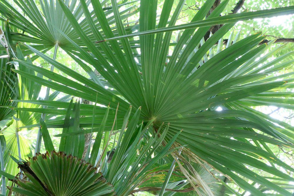palme bekommt gelbe bl tter oder braune blattspitzen h ufige ursachen. Black Bedroom Furniture Sets. Home Design Ideas