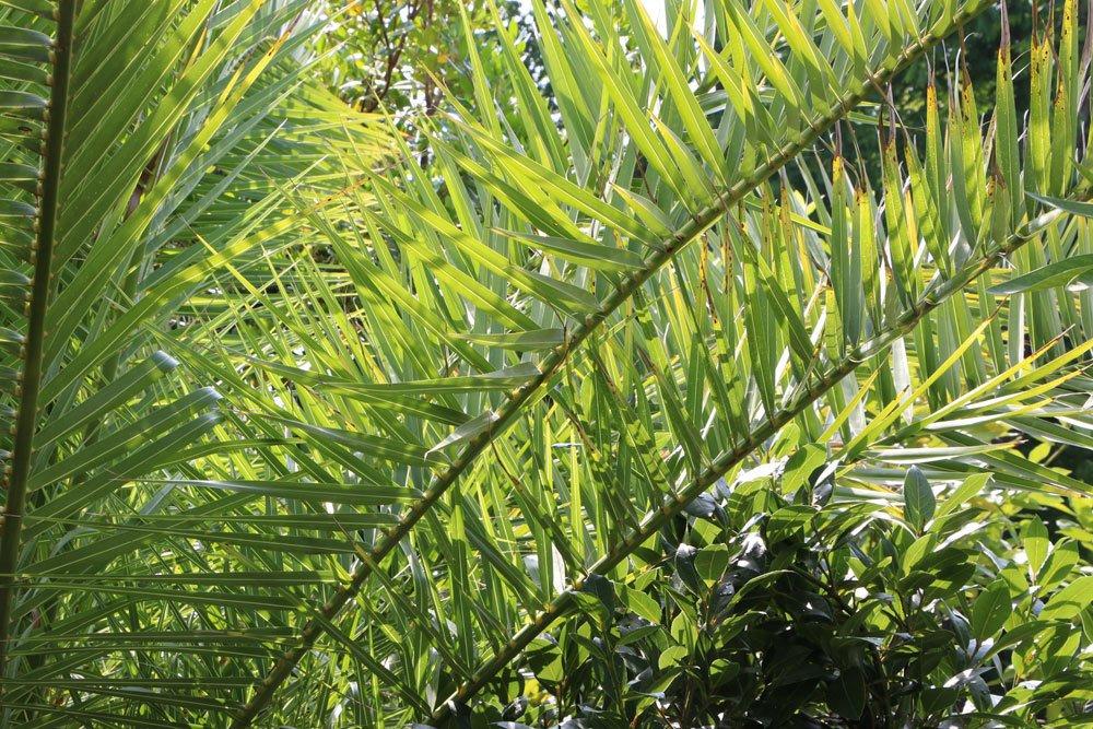 Phoenix canariensis, Kanarische Dattelpalme