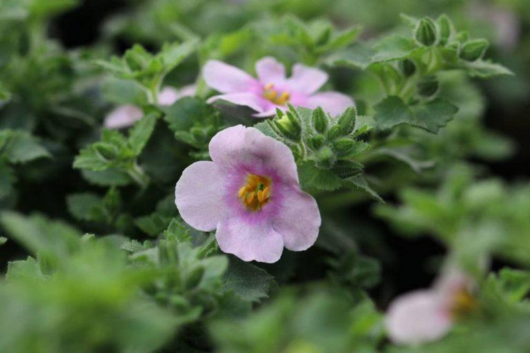 Schneeflockenblume, Bacopa, Chaenostoma cordatum