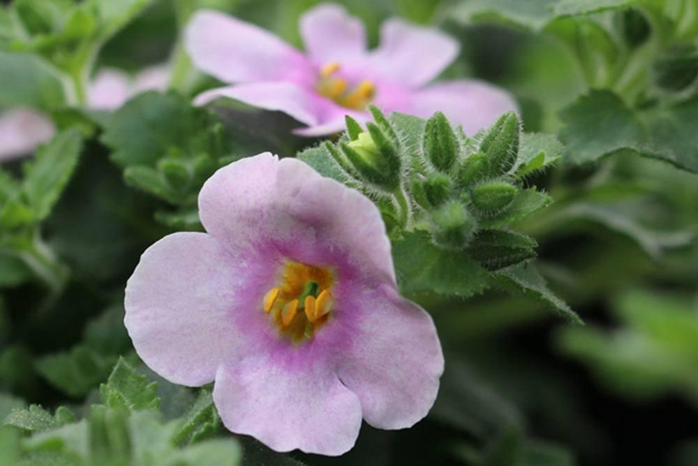 Chaenostoma cordatum gibt es in verschiedenen Blütenfarben
