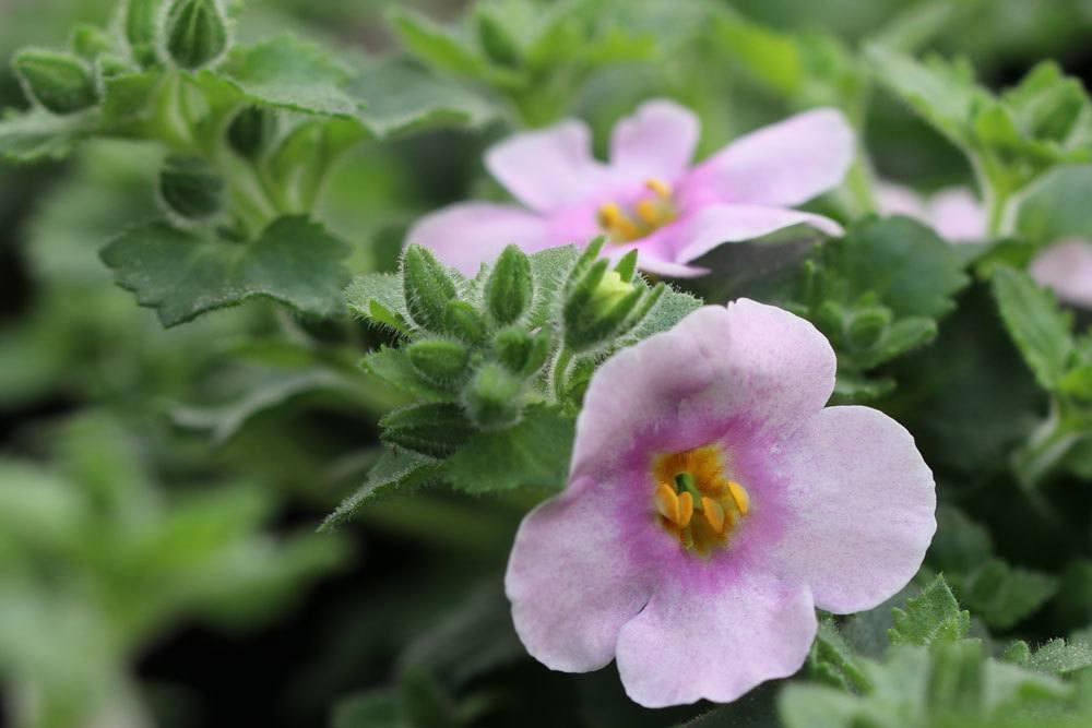 Schneeflockenblume ist eine ungiftige Pflanze