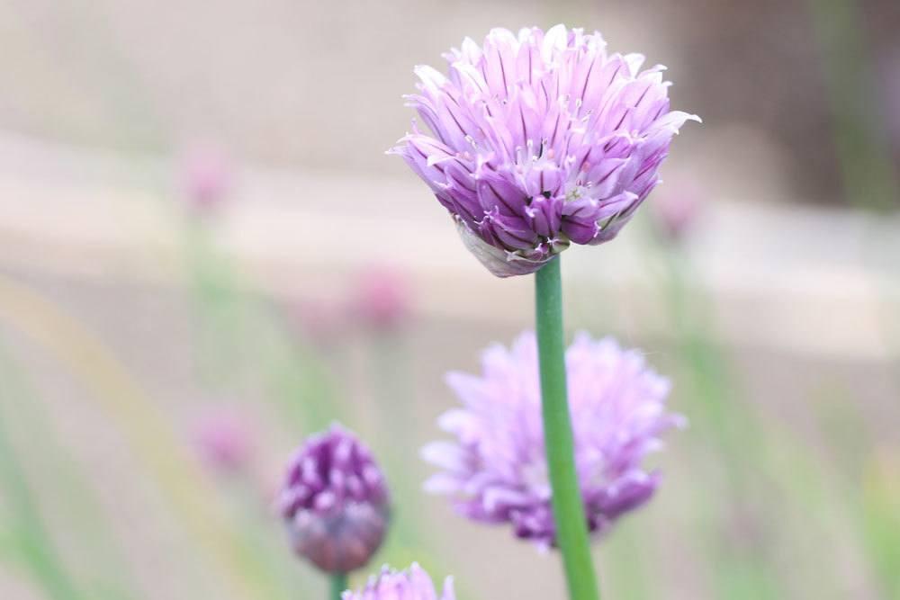 Schnittlauchblüten in violetter Farbe