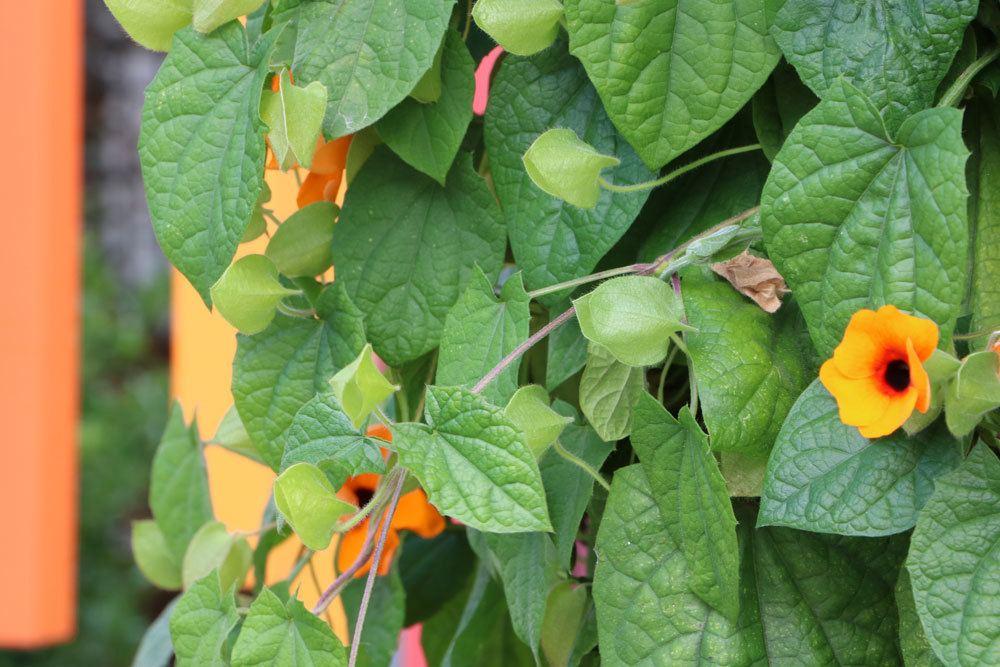 Schwarzäugige Susanne ist eine dekorative Pflanze