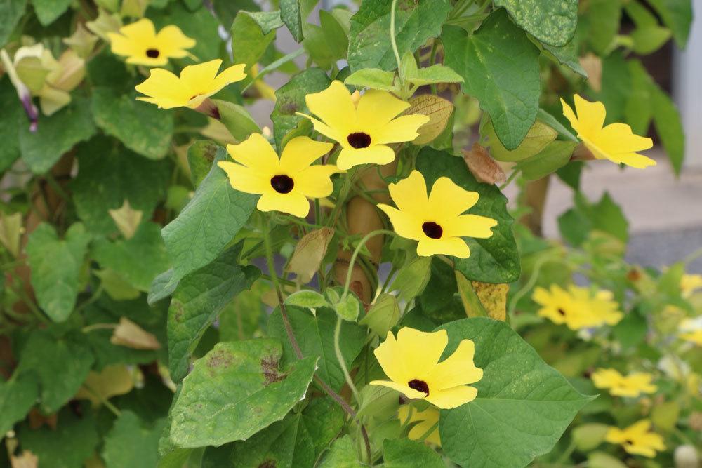 Schwarzäugige Susanne mit gelben Blüten
