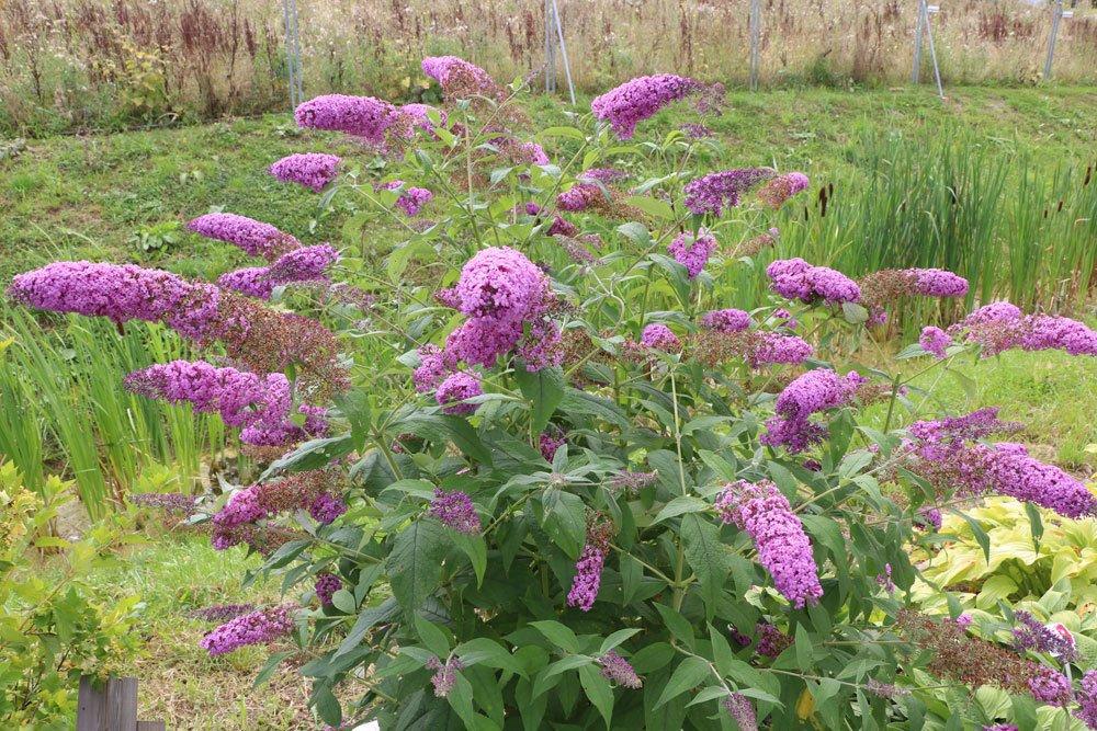 Sommerflieder im Gartenbeet