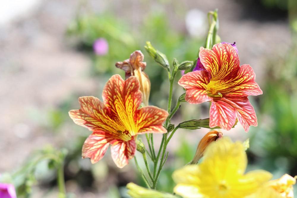 Trompetenzunge mit besonderer Blütenfarbe