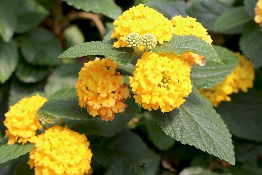 Wandelröschen mit gelben Blüten