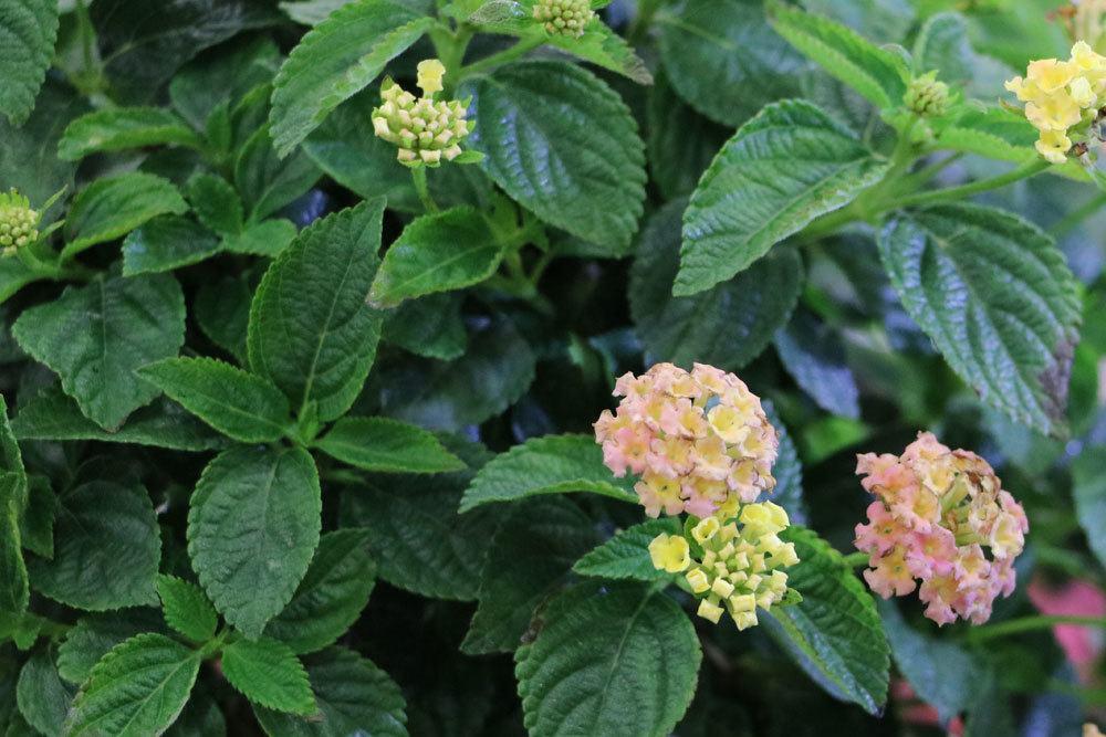 Wandelröschen mit rosa Blüten