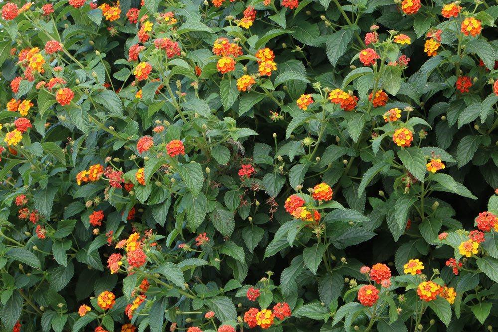 Wandelröschen mit rot-gelben Blüten
