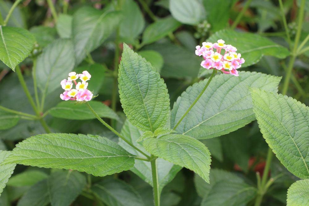 Wandelröschen ist eine der beliebtesten Kübelpflanzen