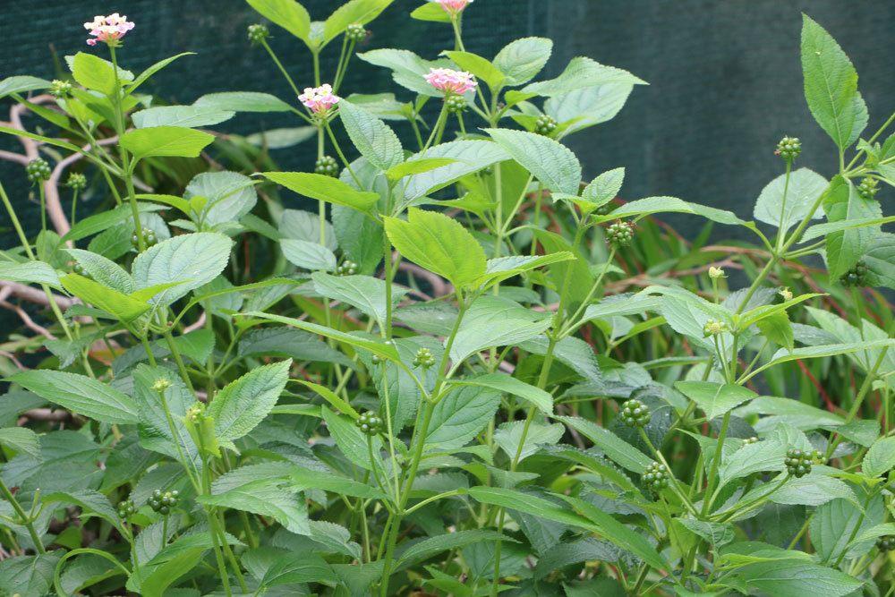 Wandelröschen im Gartenbeet