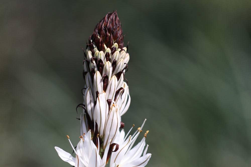Weißer Affodill blüht von Mai bis Juli