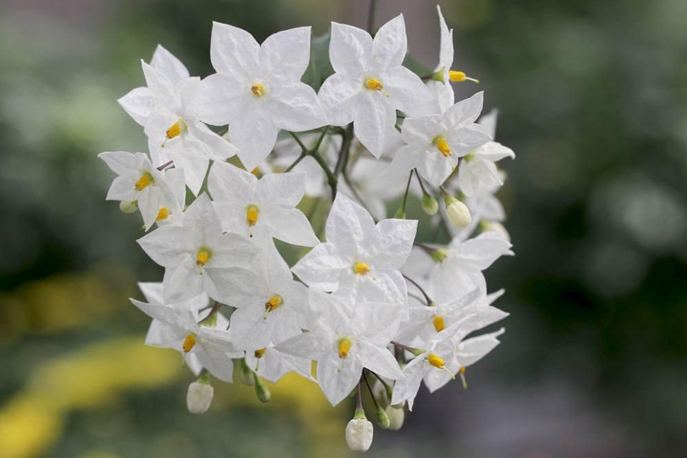 Weißer Jasmin, Sommerjasmin, Solanum laxum/Jasminoides