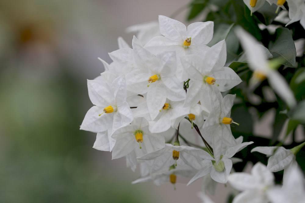 Weißer Jasmin, Sommerjasmin wächst über drei Meter hoch