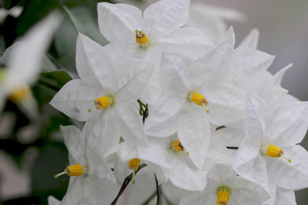 Weißer Jasmin mit seinen weißen Blüten