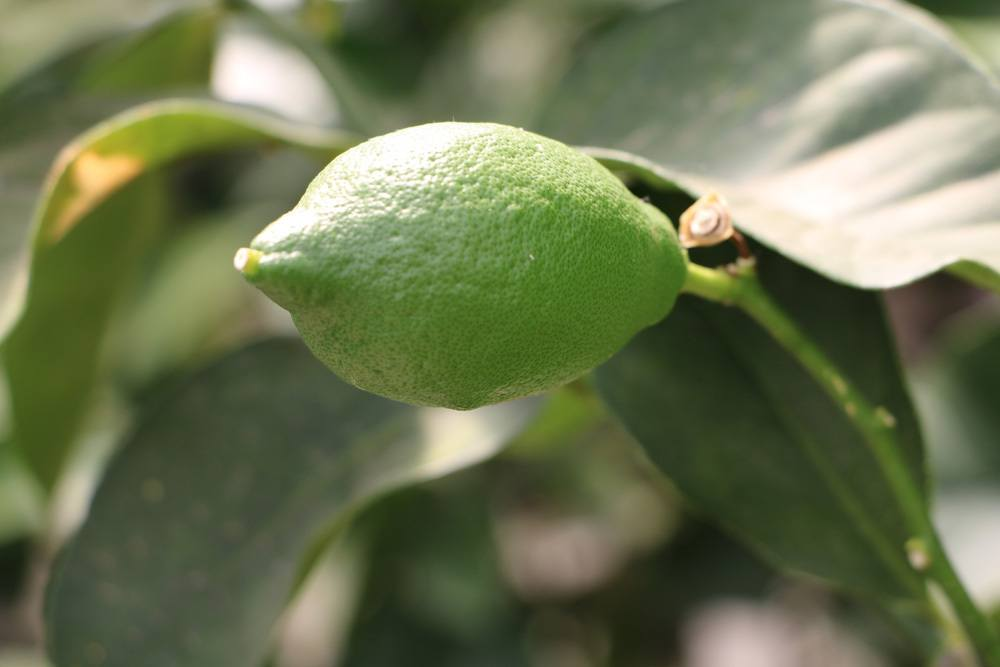 Zitronenbaum mit noch grüner Zitronenfrucht