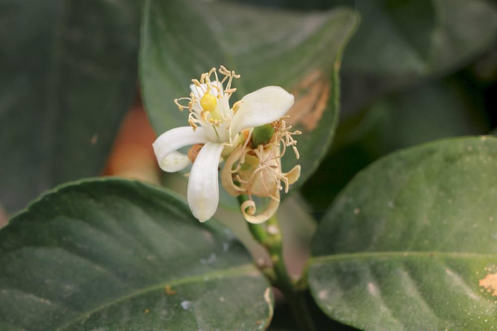 Zitronenbaum mit seiner weißen Blüte
