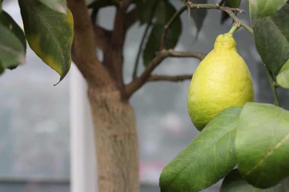 Zitronenbaum liebt einen sonnig, warmen Standort