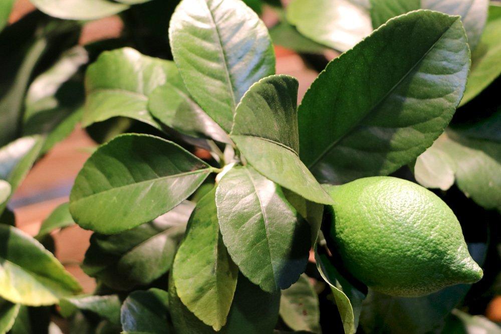 Zitronenbaum mit dunkelgrünen und glänzenden Blättern