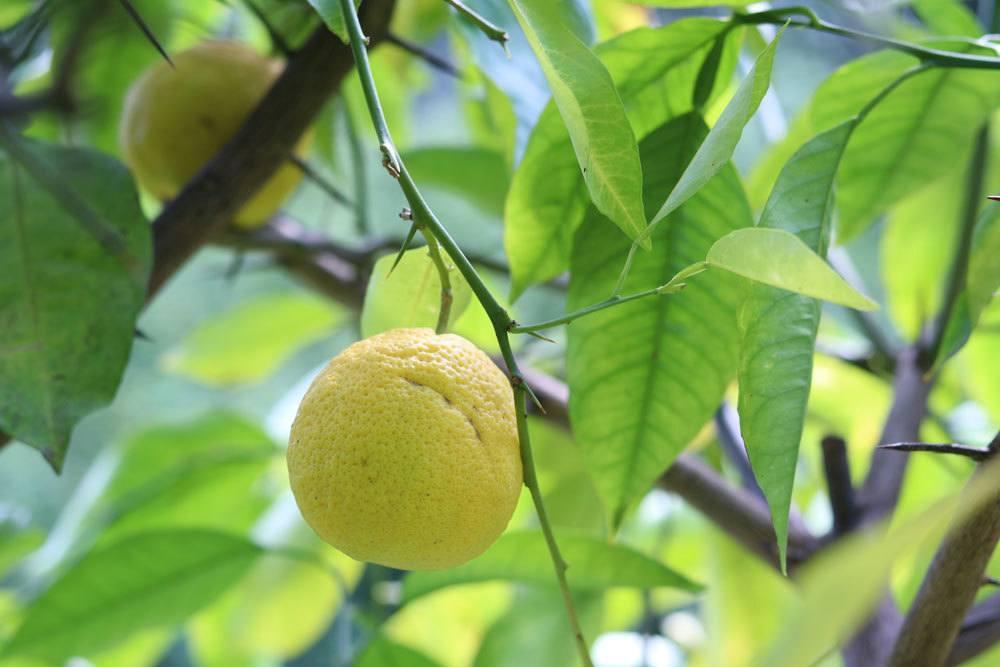 Zitronenbaum kann von Schädlingen befallen werden