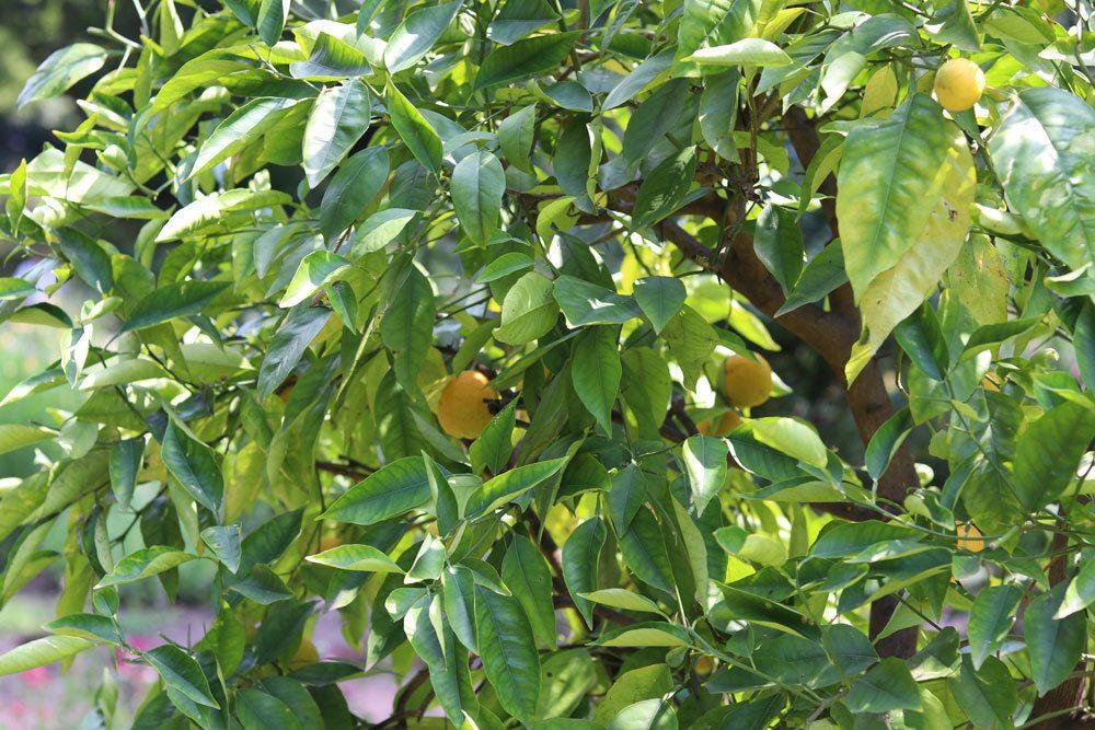 Zitronenbaum mit seinen immergrünen Blättern