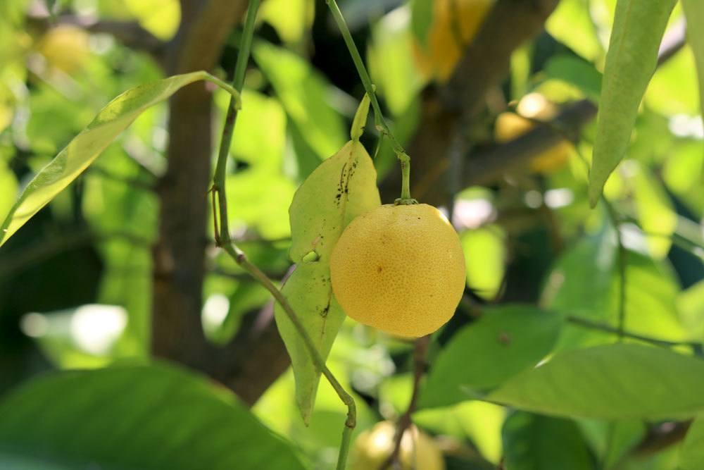 Zitronenbaum mit gelber Frucht