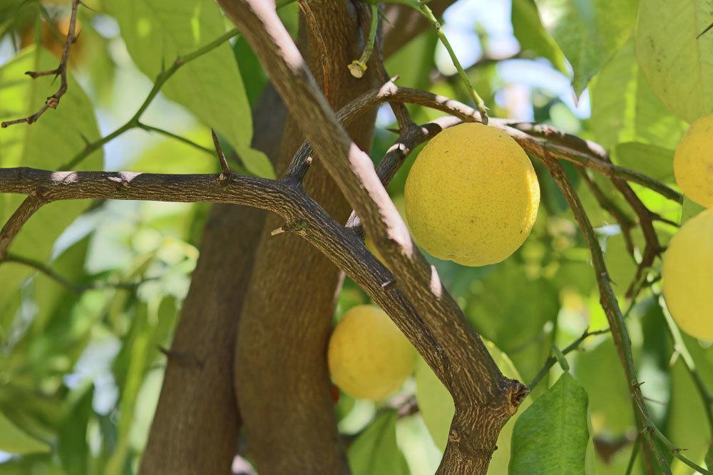 Zitronenbaum mit gelben Zitronenfrüchten