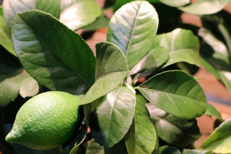 Zitronenbaum mit dunkelgrünen Blättern