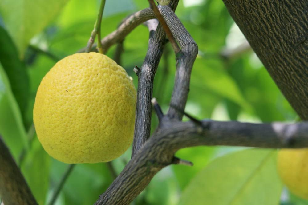 Zitronenbaum ist eine immergrüne Pflanze