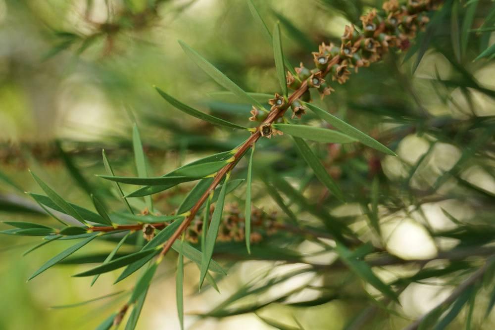 Callistemon stammt aus Australien