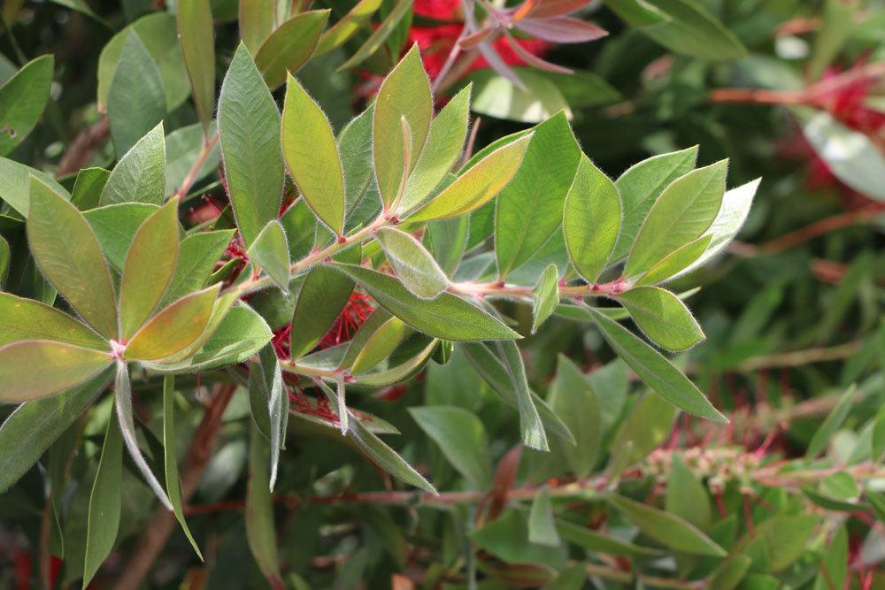Callistemon dessen Blätter leicht nach Zitrus duften