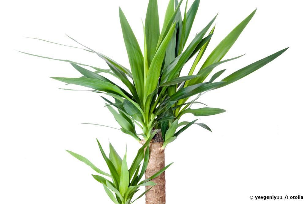 yucca palme gie en wie oft wie viel infos f r das ganze jahr. Black Bedroom Furniture Sets. Home Design Ideas