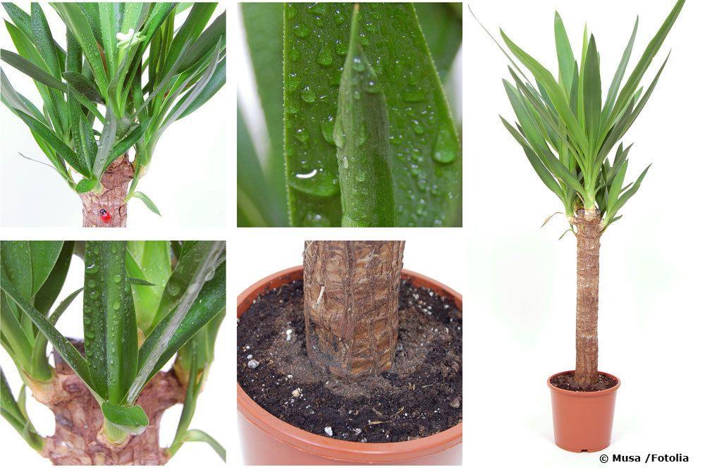 ist die yucca palme giftig infos f r menschen und haustiere. Black Bedroom Furniture Sets. Home Design Ideas