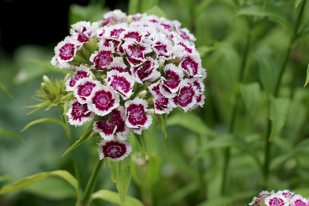 Dianthus barbatus ist eine nicht giftige Pflanze